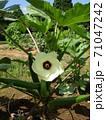 きらびやかに咲いたオクラの白い花 71047242