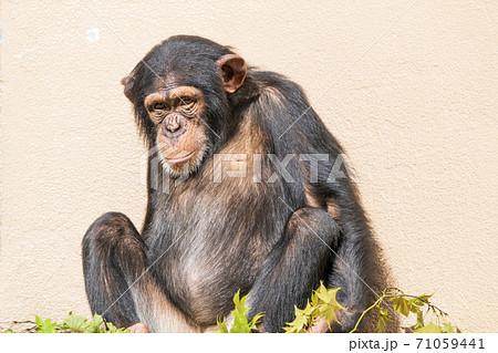 やる気のないチンパンジー 宮城県仙台市 71059441