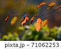 紅葉し始めた桜の葉 71062253