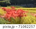 赤いヒガンバナと田園 71062257