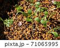 ネモフィラの芽吹き、秋から春のガーデニング 71065995