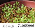 ネモフィラの芽吹き、秋から春のガーデニング 71065996