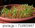 ネモフィラの芽吹き、秋から春のガーデニング 71065997