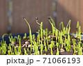 小ネギの実生、コンテナで育てる野菜 71066193