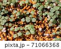 ビオラの芽吹き、秋から春のガーデニング 71066368