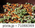 ビオラの芽吹き、秋から春のガーデニング 71066369