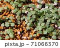 ビオラの芽吹き、秋から春のガーデニング 71066370