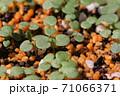 ビオラの芽吹き、秋から春のガーデニング 71066371