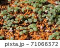 ビオラの芽吹き、秋から春のガーデニング 71066372