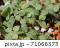 ビオラの芽吹き、秋から春のガーデニング 71066373