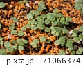 ビオラの芽吹き、秋から春のガーデニング 71066374