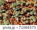 ビオラの芽吹き、秋から春のガーデニング 71066375
