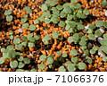 ビオラの芽吹き、秋から春のガーデニング 71066376