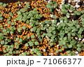ビオラの芽吹き、秋から春のガーデニング 71066377