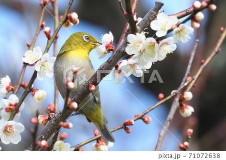 梅の花(白加賀)を吸蜜中のメジロ 71072638