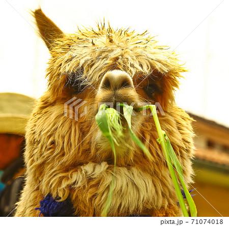 草を食べるアルパカのクローズアップ写真 71074018