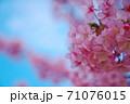 春を喜ぶ河津桜の開花 71076015