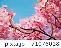 満開の河津さくらを見上げる春 71076018