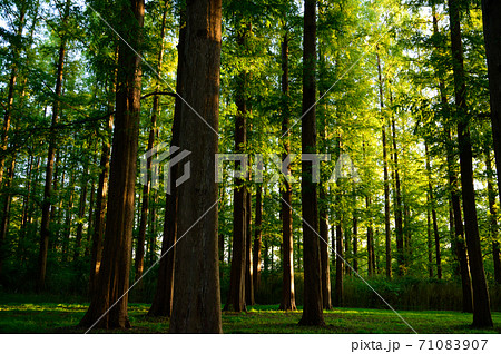 木漏れ日の針葉樹の森林イメージ 71083907