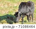 草原で草を食べる牛 71086464