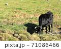 草原で草を食べる牛 71086466