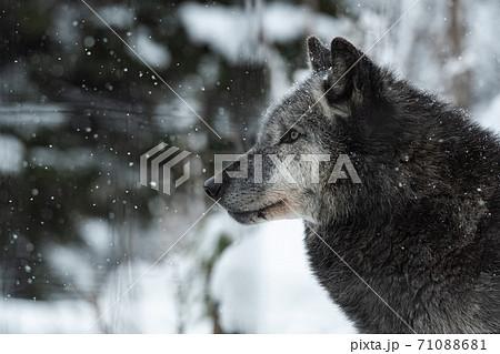 冬の動物園のオオカミ / 北海道旭川市 71088681