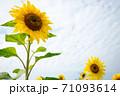ひまわり 向日葵 ソレイユの丘 71093614