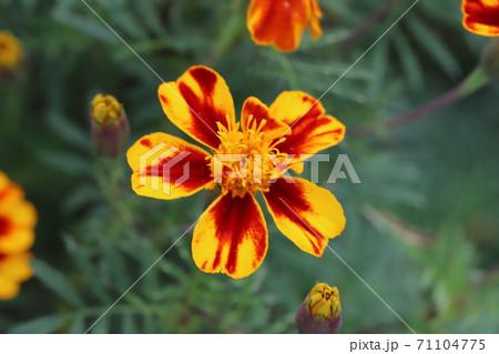 秋の花壇に咲くマリーゴールドのオレンジと赤褐色の複色の花 71104775