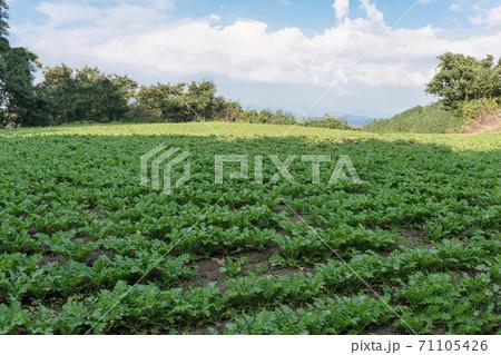 島根県松江市の給食用大根栽培の畑  71105426