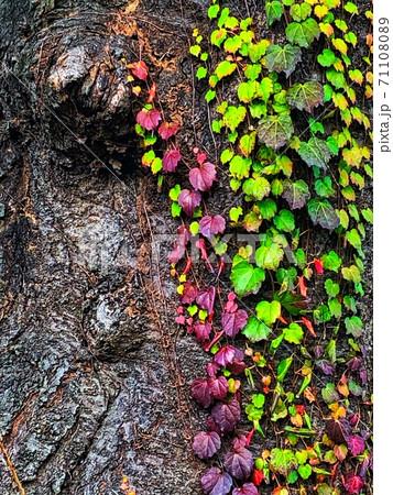 樹木に絡みつく緑や赤紫の色鮮やかな葉っぱがある秋の風景 71108089