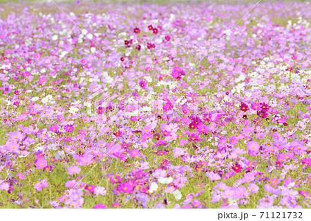 秋の風景 コスモスの花 71121732