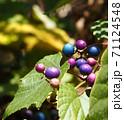 秋の山にノブドウの青い綺麗な実 71124548