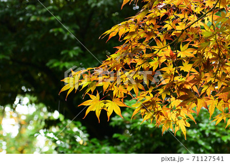 新緑に映える濡れた雨の中の黄色や橙色の紅葉 71127541