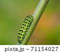 綺麗な模様のキアゲハの幼虫 71154027