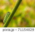 綺麗な模様のキアゲハの幼虫 71154029