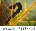 秋の落ち葉に虫食いの穴 71154414