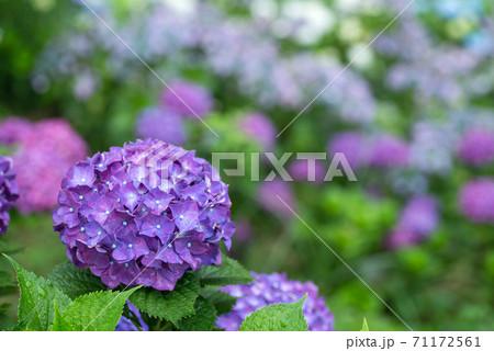 ボケをバックに紫のアジサイの花 71172561