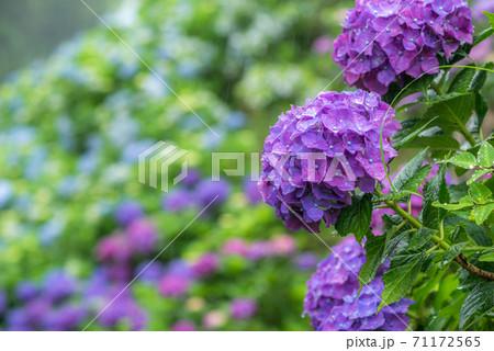 ボケをバックに雨の中の紫のアジサイの花 71172565