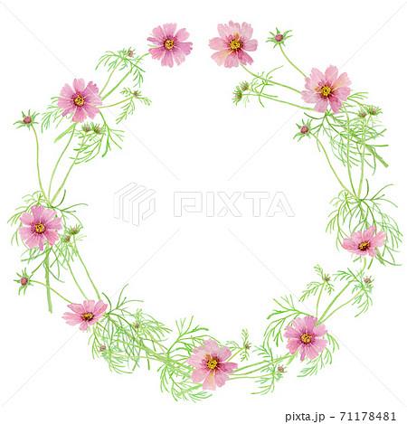 ピンク色のコスモスの水彩イラストリース 71178481