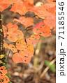 虫食い紅葉葉っぱ 71185546