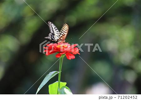 赤い花とアゲハチョウ 71202452