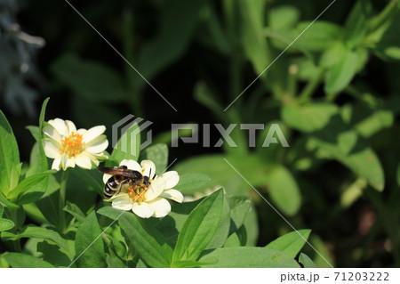 花の蜜を吸う蜂 71203222