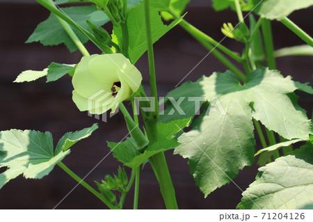 畑のオクラの花 71204126