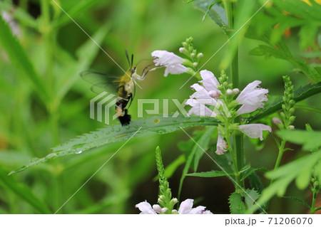 花の蜜を吸うオオスカシバ 71206070