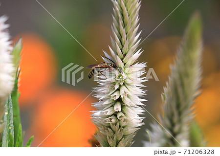 花の蜜を吸う蜂 71206328