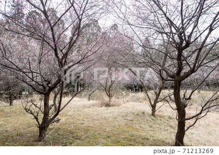 嵯峨野の早春、歌碑の佇む「長神の杜」の梅園に満開の紅白梅と黒い木立 71213269