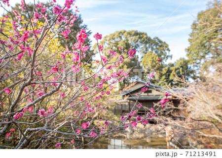 梅宮大社、東神苑の咲耶池ほとりに咲く紅梅 71213491