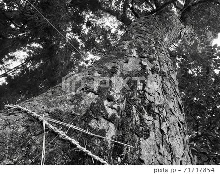 日吉神社の大木(大分県宇佐市)、白黒 71217854