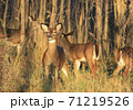Deers into he forest in late afternoon, Boucherville Islands, Quebec, Canada 71219526