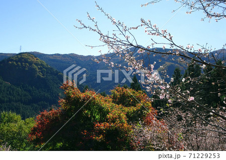 山並みを背景に紅葉と冬ざくら/状峰公園(群馬県神流町) 71229253